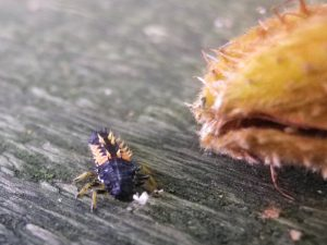 "Ladybird larvae or ""Rainbow creature""?"